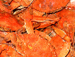 Steamed Maryland bluecrabs closeup.